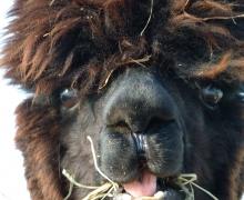 Smiley Vivi, one of the alpaca female of Alpage du Nord
