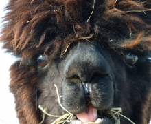 Smiley Vivi, one of the alpaca female of Alpage du Nord