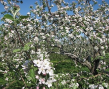 Blooming Apple Blossoms at Cidrerie Les Vergers Lafrance