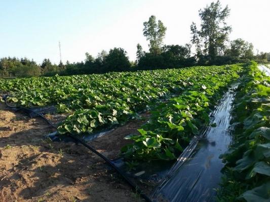Marché Fermier de Lachute  légumes, légumes biologiques